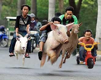 87 Gambar Naik Babi Paling Hist